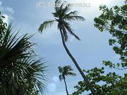 Palm trees, near lighthouse